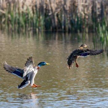 2 Ducks landing on a pond