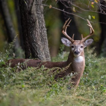 Whitetail Buck looking at camera